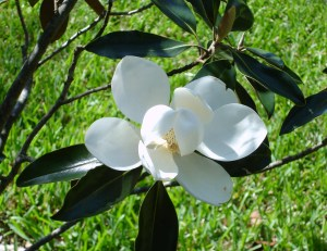 The Magnolia's blooms are so fragrant.