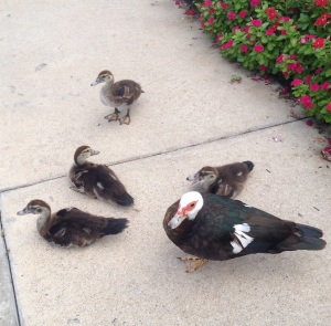 Muscovy ducks at BJ's