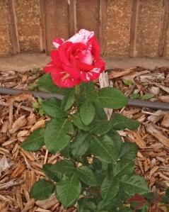 Neil Diamond Tea Rose